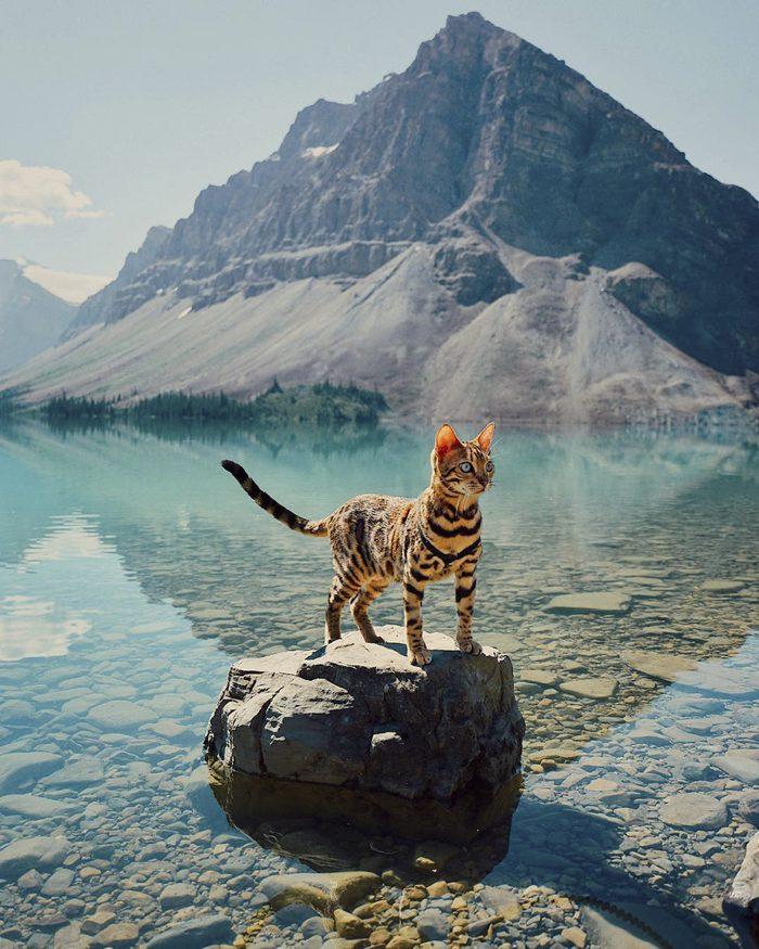 Suki, The Traveling Bengal Cat