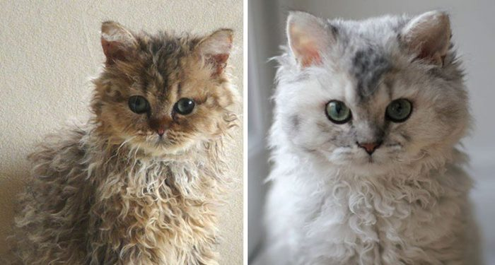These Curly Cats Are The New Sensation All Over The Internet