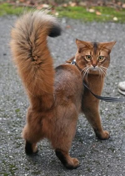 10 Amazing Cats With The Longest Tails Viral Cats Blog