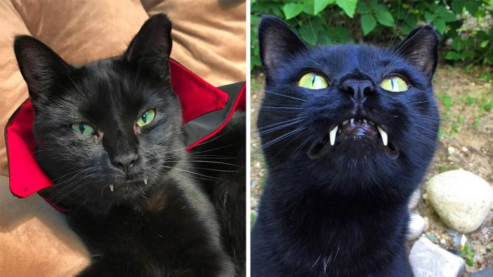 """Rescue Cat Grows Up Into A """"Vampire"""""""