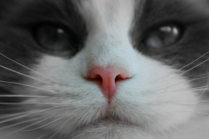 8 interesting facts about the cat noses and their sense of smell