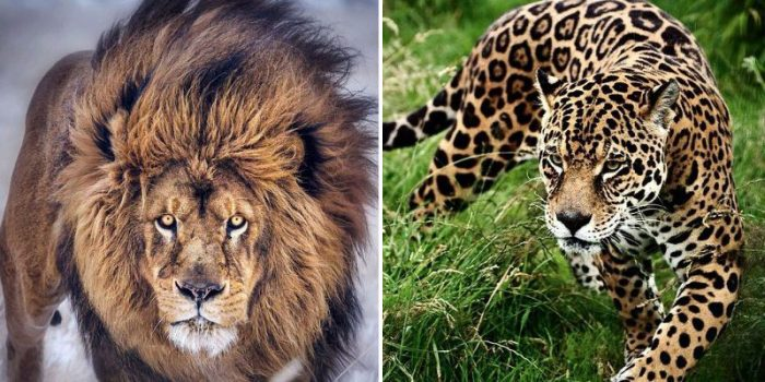 8 Stunning Pictures Showing The Beauty Of Wild Big Cats