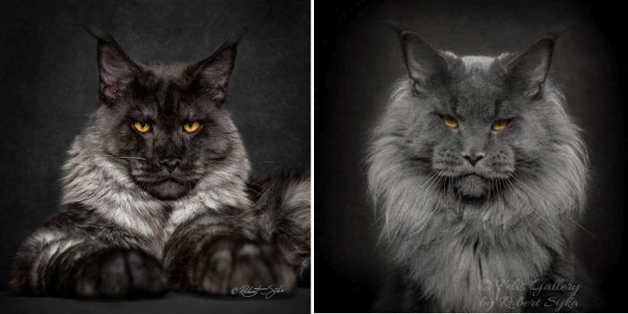 Mythical Beasts : 12 Pictures Showing The Majestic Beauty Of Maine Coons
