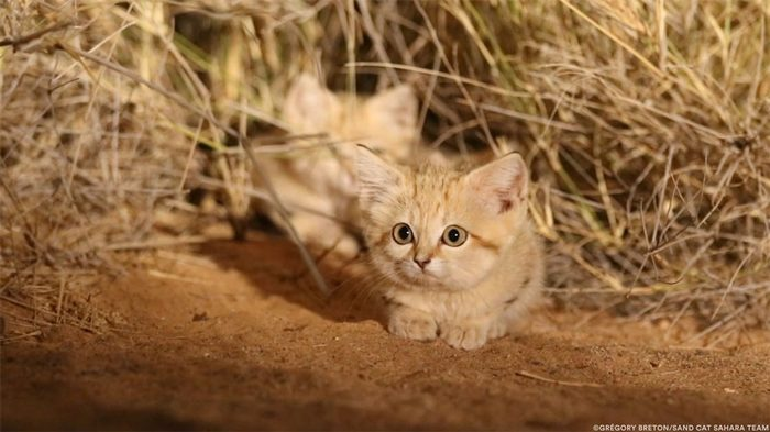 Wild Sand Kittens Caught On Camera For The First Time Are Almost Too Cute To Be Real