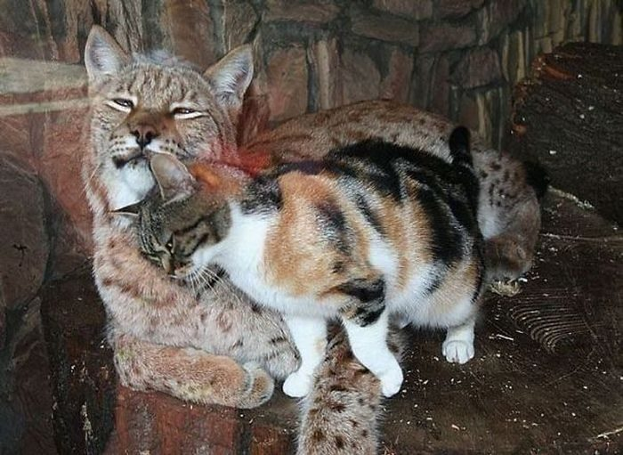 Homeless Cat Becomes Inseparable Friends With A Lynx After Sneaking Into a Zoo