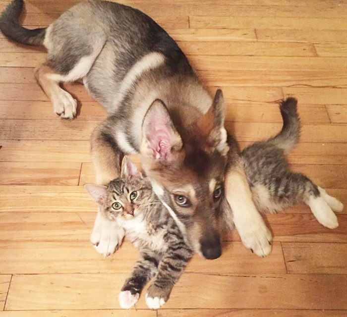 Husky Picked Out His Own Kitten To Take Home From Shelter