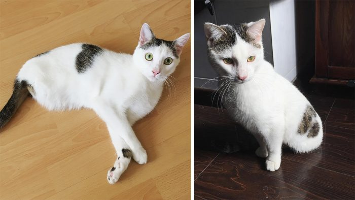 Cat Born Without Back Legs Amazes Humans With His Endless Energy