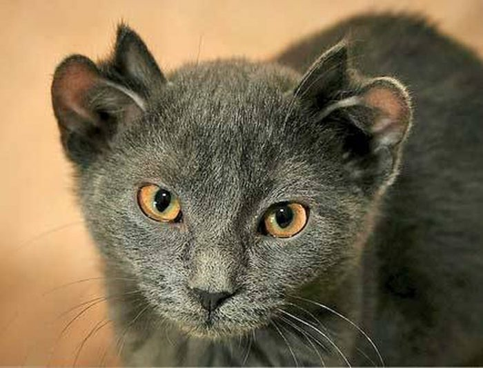 Meet Yoda – The Cat With An Extra Set Of Ears