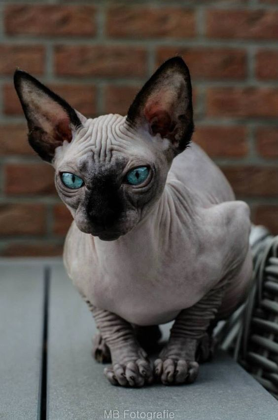 Sphynx Cats And Their Fascinating Intriguing Beauty ...