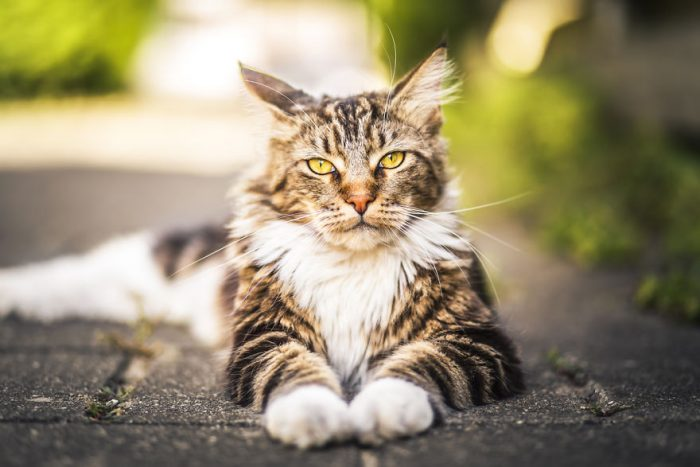 Majestic Neighborhood Cat Turns Out To Be A Great Meowdel!