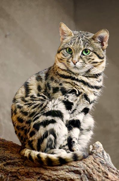 The World S Deadliest Cat Is The Cutest Kitty You Ve Ever