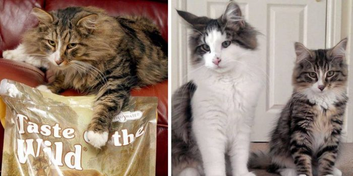 This Cat Went Missing, When Found Was Almost Double In Size And Living In Pet Food Factory