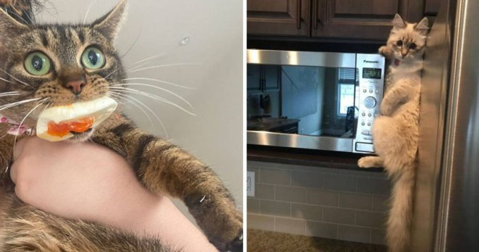 15 Cat-Thieves That Were Caught Red-Pawed Stealing Food